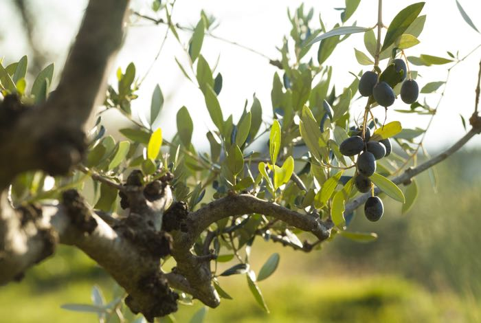 Our Olive Orchards